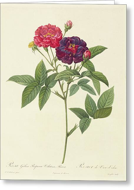 Blossoming Greeting Cards - Rosa Gallica Purpurea Velutina Greeting Card by Pierre Joseph Redoute
