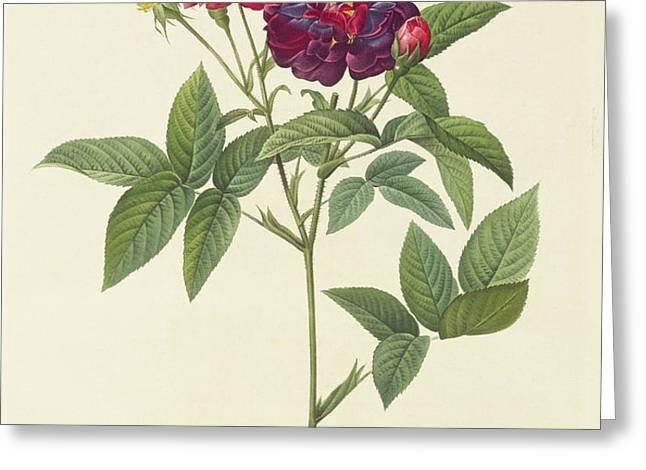 Rosa Gallica Purpurea Velutina Greeting Card by Pierre Joseph Redoute