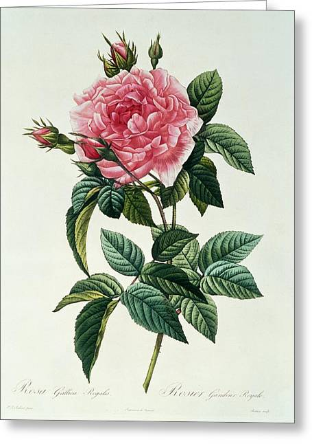 In Bloom Greeting Cards - Rosa Gallica Regalis Greeting Card by Pierre Joseph Redoute