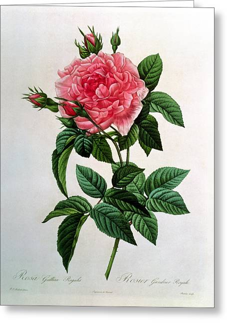 Coloured Greeting Cards - Rosa Gallica Regallis Greeting Card by Pierre Joseph Redoute