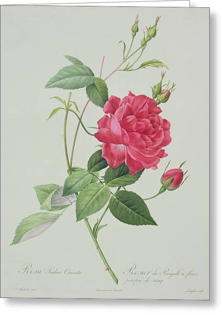 Bengal Drawings Greeting Cards - Rosa indica cruenta Greeting Card by Pierre Joseph Redoute