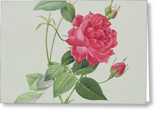 Rosa indica cruenta Greeting Card by Pierre Joseph Redoute