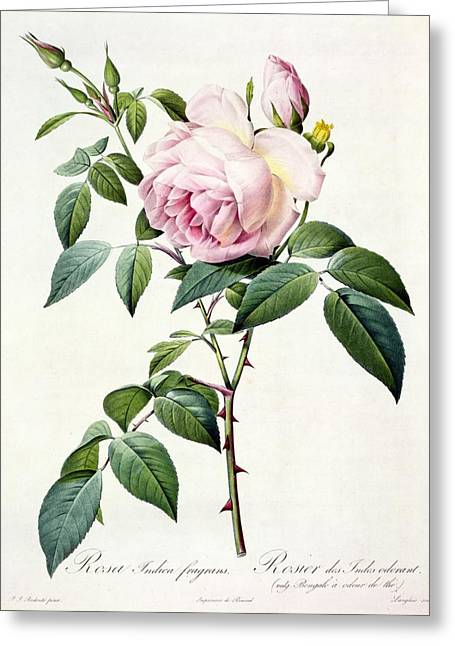 Coloured Flower Greeting Cards - Rosa Indica Fragrans Greeting Card by Pierre Joseph Redoute