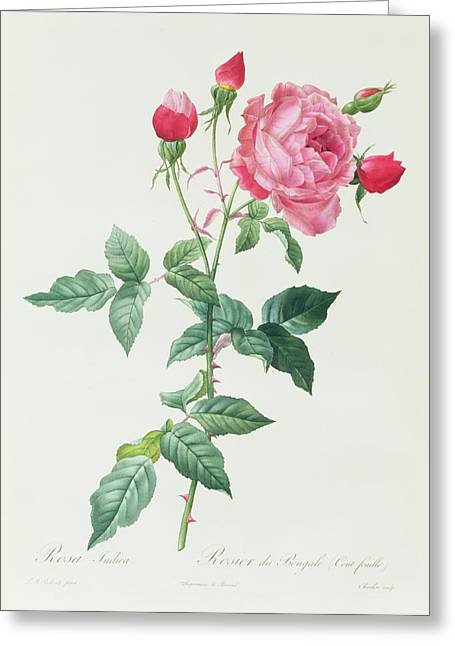 Roses In Bud Greeting Cards - Rosa Indica Greeting Card by Pierre Joseph Redoute