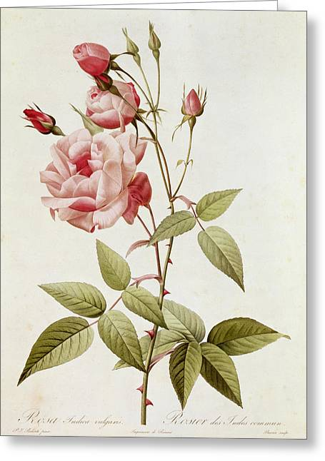 Best Sellers -  - Coloured Greeting Cards - Rosa Indica Vulgaris Greeting Card by Pierre Joseph Redoute