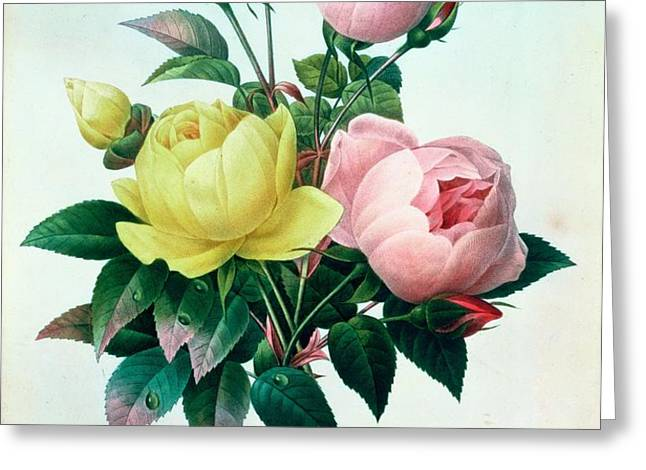 Rosa Lutea and Rosa Indica Greeting Card by Pierre Joseph Redoute