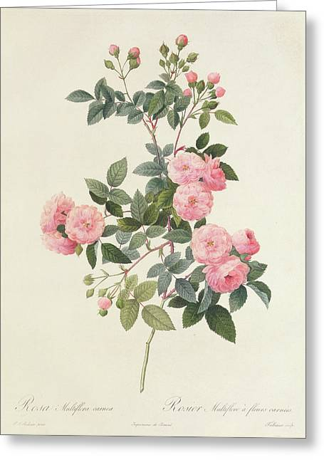 Coloured Flower Greeting Cards - Rosa Multiflora Carnea Greeting Card by Pierre Joseph Redoute