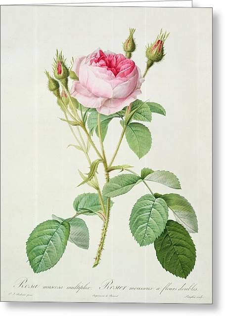 Horticulture Drawings Greeting Cards - Rosa muscosa multiplex Greeting Card by Pierre Joseph Redoute