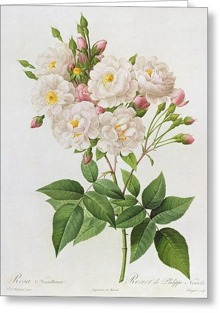 Stalked Greeting Cards - Rosa Noisettiana Greeting Card by Pierre Joseph Redoute