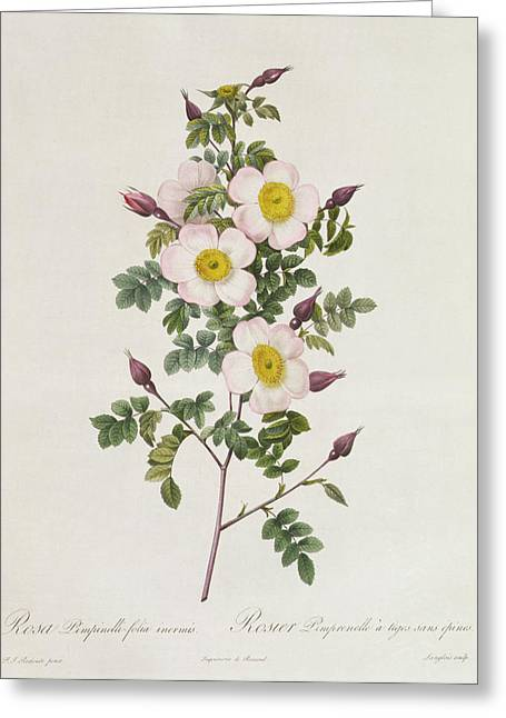 Horticulture Drawings Greeting Cards - Rosa Pimpinelli Folia Inermis Greeting Card by Pierre Joseph Redoute