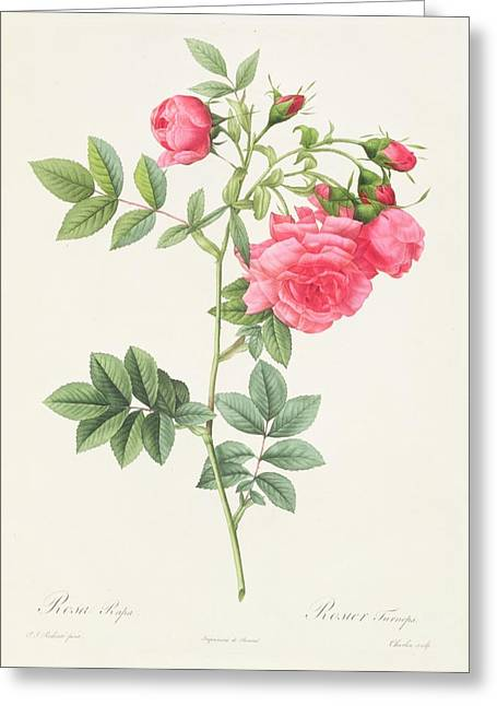 Horticulture Drawings Greeting Cards - Rosa Pimpinellifolia Flore Variegato  Greeting Card by Pierre Joseph Redoute