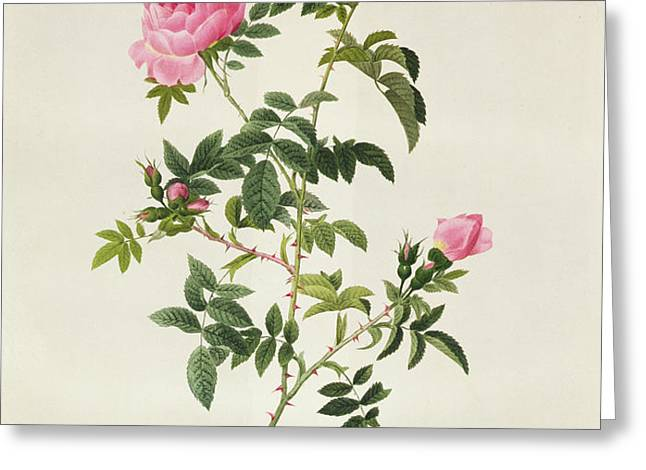 Rosa Sepium Flore Submultiplici Greeting Card by Pierre Joseph Redoute