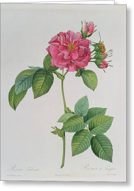 Coloured Greeting Cards - Rosa Turbinata Greeting Card by Pierre Joseph Redoute