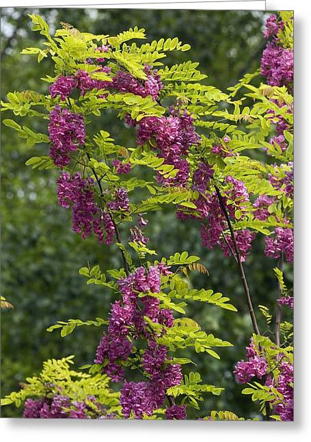 Green Foliage Greeting Cards - Rose Acacia (robinia Hispida) Greeting Card by Bob Gibbons