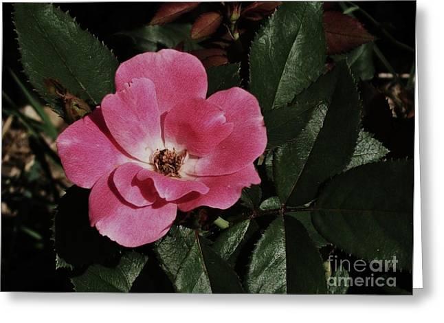 Shadows Posters Greeting Cards - Rose at Dawn Greeting Card by Marsha Heiken