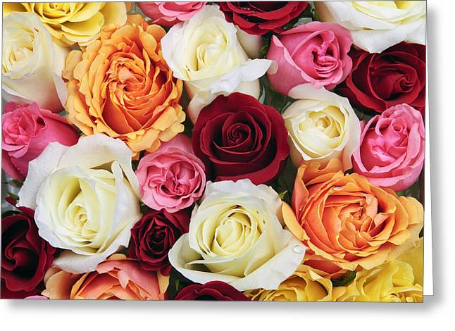 Various Greeting Cards - Rose blossoms Greeting Card by Elena Elisseeva