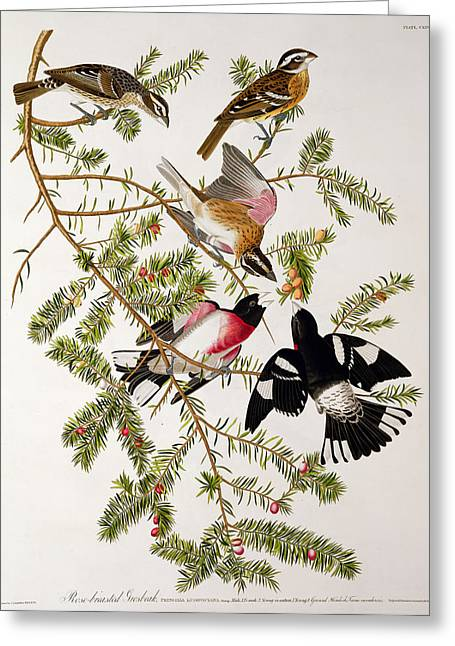 Coloured Greeting Cards - Rose breasted Grosbeak Greeting Card by John James Audubon