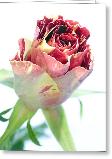 Rosa Sp. Greeting Cards - Rose Bud (rosa Sp.) Greeting Card by Lawrence Lawry