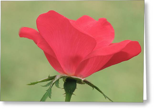 Photograph Of Peaches Greeting Cards - Rose Cup Coral Greeting Card by Debra     Vatalaro