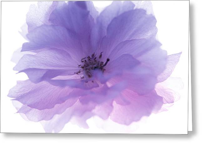 Rosa Sp. Greeting Cards - Rose Flower (rosa Sp.) Greeting Card by Cristina Pedrazzini