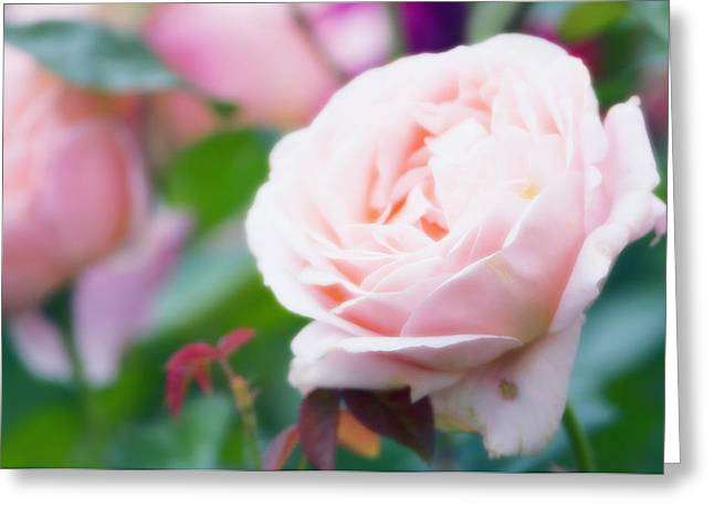 Rosa Sp. Greeting Cards - Rose Flower (rosa Sp.) Greeting Card by Maria Mosolova