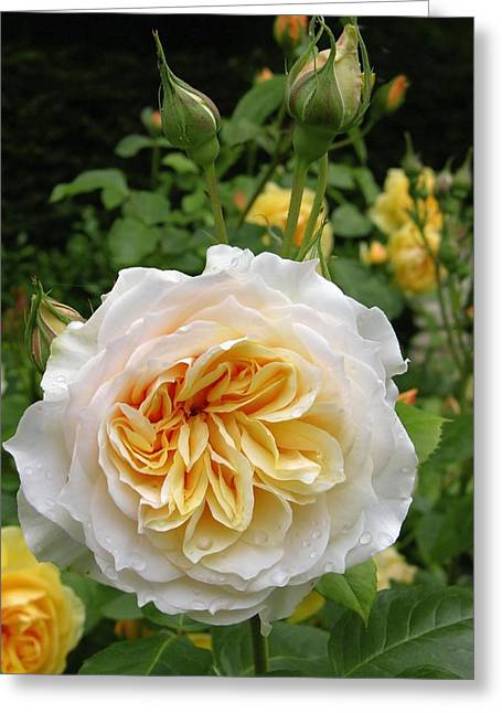 Rosa Sp. Greeting Cards - Rose Flower (rosa Sp.) Greeting Card by Tony Craddock