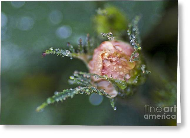 Rose Flower Series 9 Greeting Card by Heiko Koehrer-Wagner