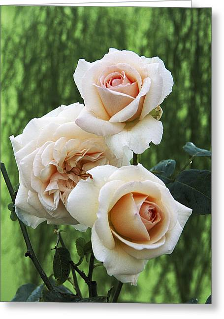 Penny Lane Greeting Cards - Rose Flowers (rosa penny Lane) Greeting Card by Archie Young