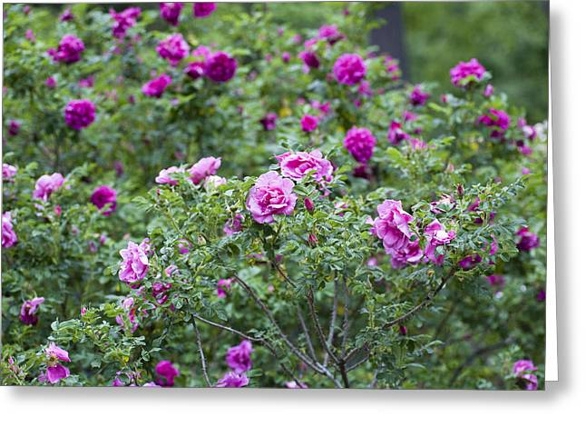 Garden Scene Greeting Cards - Rose Garden Greeting Card by Frank Tschakert