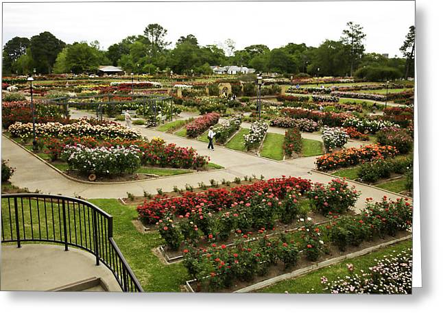 Flower Still Life Prints Greeting Cards - Rose Garden Park Tyler Texas Greeting Card by M K  Miller