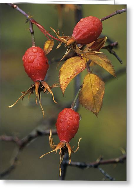 Rosa Sp. Greeting Cards - Rose Hips (rosa Sp.) Greeting Card by Bob Gibbons