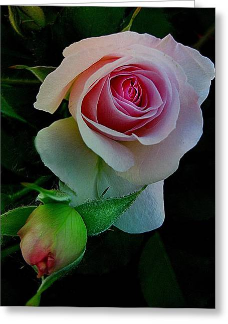 Pink And Green Hues Greeting Cards - Rose of My Rose Greeting Card by Shirley Sirois