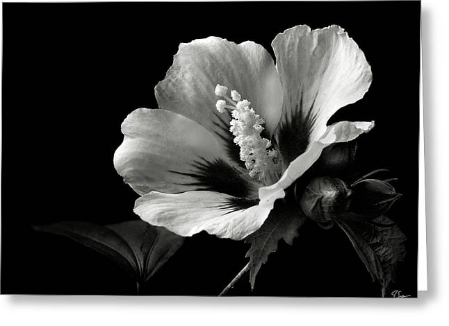 Rose Of Sharon Greeting Cards - Rose of Sharon in Black and White Greeting Card by Endre Balogh