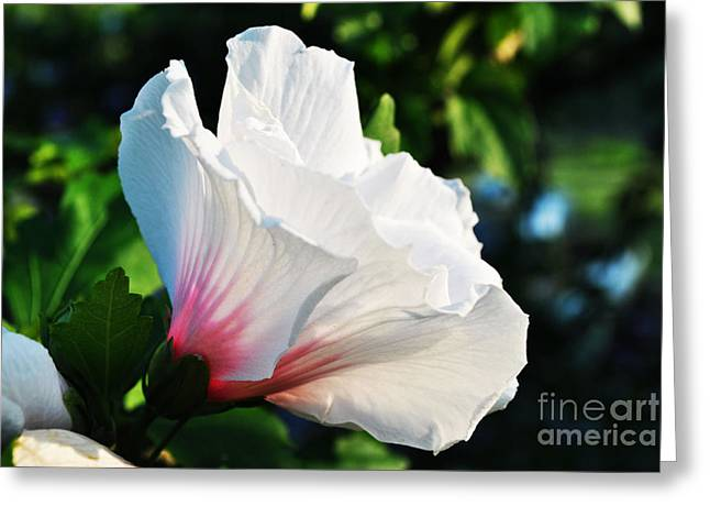 Photogrpah Greeting Cards - Rose of Sharon Ithaca NY Greeting Card by Tami Seddon