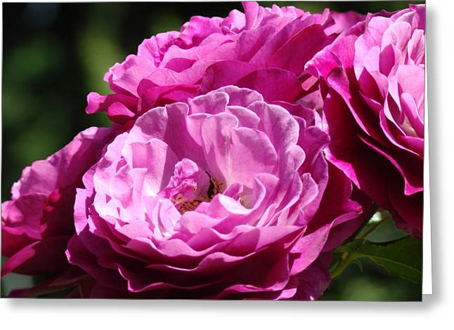 Baslee Troutman Greeting Cards - Rose Pink Purple Roses Flowers 1 Rose Garden Sunlit Flowers Baslee Troutman Greeting Card by Baslee Troutman Fine Art Collections