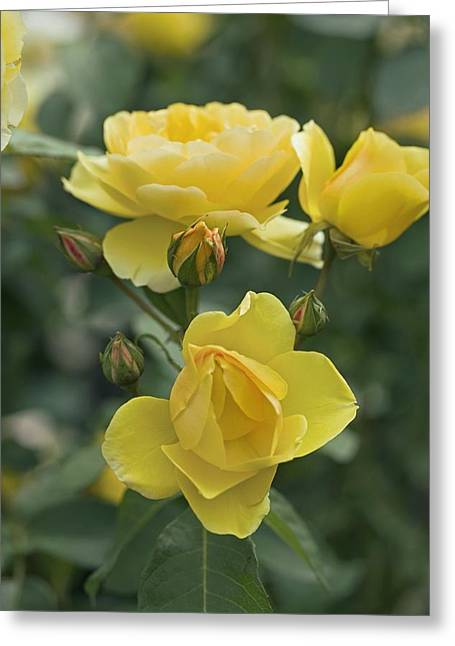 Charlotte Greeting Cards - Rose (rosa charlotte Auspoly) Greeting Card by Dr Keith Wheeler