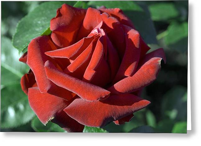 Rosa Sp. Greeting Cards - Rose (rosa ingrid Bergman) Greeting Card by Georgette Douwma