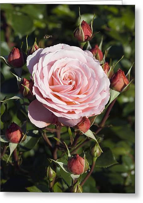 Rosa Sp. Greeting Cards - Rose (rosa sexy Rexie) Greeting Card by Georgette Douwma