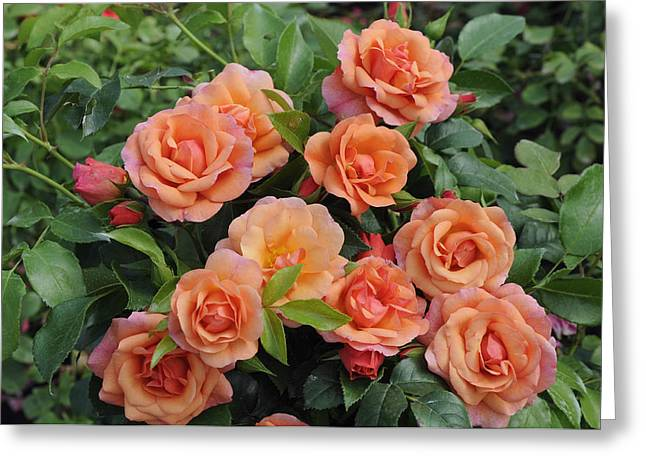 Rosa Sp. Greeting Cards - Rose Rosa Sp Aprikola Variety Flowers Greeting Card by VisionsPictures