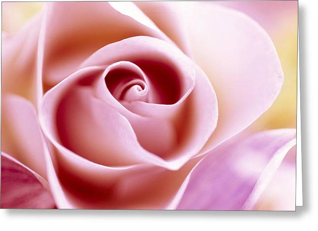 Rosa Sp. Greeting Cards - Rose Rosa Sp Close Up Of Pink Flower Greeting Card by Jan Vermeer