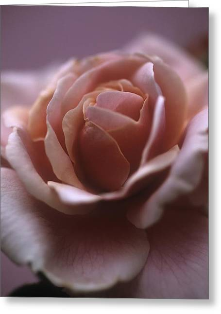 Rosa Sp. Greeting Cards - Rose (rosa Sp.) Greeting Card by Cristina Pedrazzini