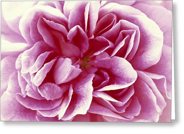 Rosa Sp. Greeting Cards - Rose Rosa Sp Detail Of Opening Flower Greeting Card by Jan Vermeer