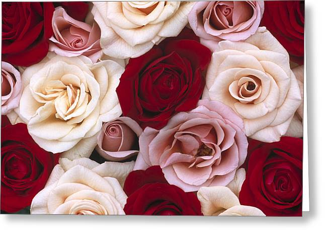 Rosa Sp. Greeting Cards - Rose Rosa Sp Flowers, Close Up Of Many Greeting Card by Jan Vermeer