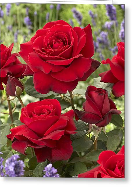 Rosa Sp. Greeting Cards - Rose Rosa Sp Flowers Greeting Card by VisionsPictures