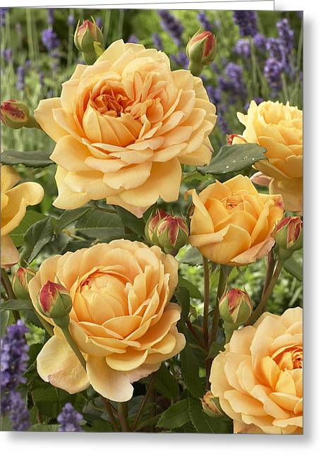 Rosa Sp. Greeting Cards - Rose Rosa Sp Golden Celebration Variety Greeting Card by VisionsPictures