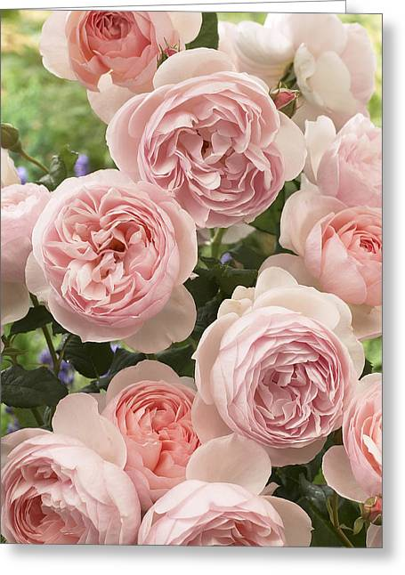 Rosa Sp. Greeting Cards - Rose Rosa Sp Heritage Variety Flowers Greeting Card by VisionsPictures