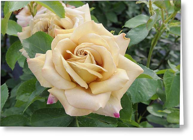 Rosa Sp. Greeting Cards - Rose Rosa Sp Honey Dijon Variety Flowers Greeting Card by VisionsPictures