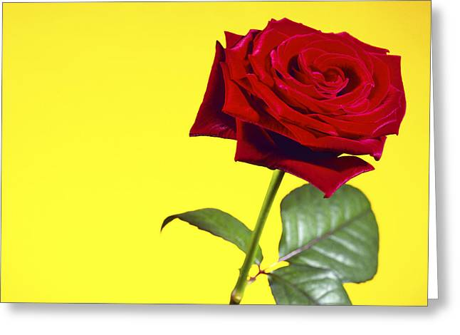 Rosa Sp. Greeting Cards - Rose (rosa Sp.) Greeting Card by Johnny Greig