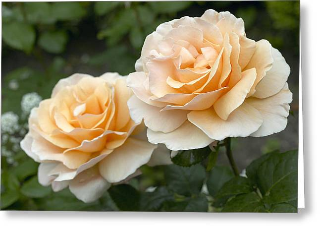 Rosa Sp. Greeting Cards - Rose Rosa Sp Just Joey Variety Flowers Greeting Card by VisionsPictures
