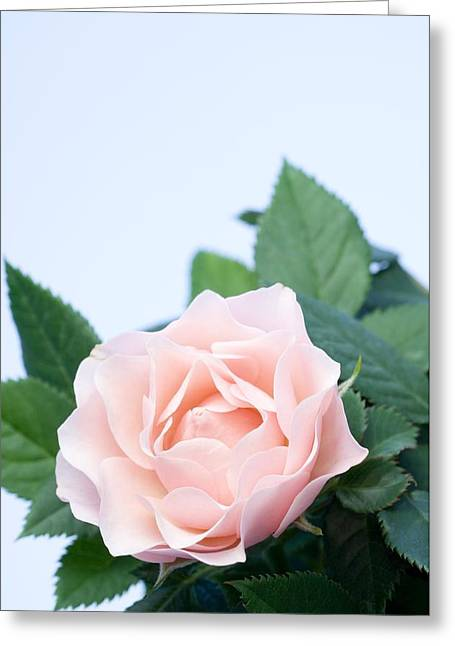 Rosa Sp. Greeting Cards - Rose (rosa Sp.) Greeting Card by Lawrence Lawry